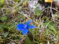 Spring Gentian, Black Head,  The Burren, County Clare, Ireland, The wild Atlantic Way