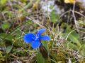 Spring Gentian, Black Head,  The Burren, County Clare, Ireland, The wild Atlantic Way